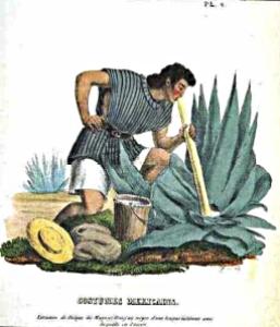 pulque old art milking