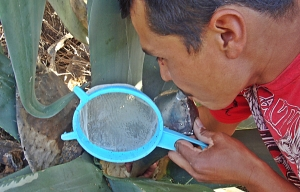 pulque urbino milking