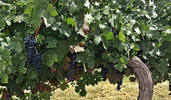 cuna cab sauv grapes on vine