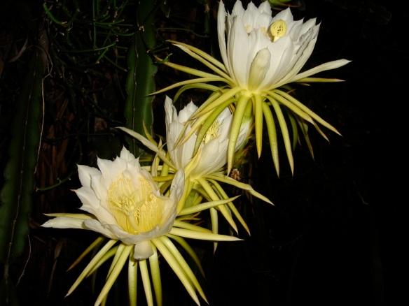 pitaya flowers