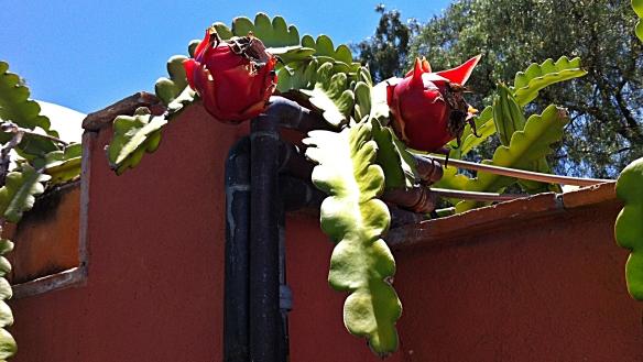 pittaya growing over fence