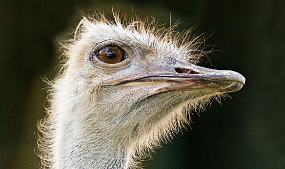 el rincon ostrich head