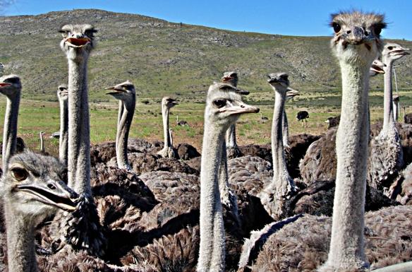 el rincon ostriches on farm