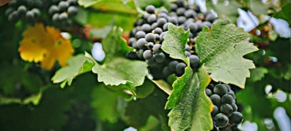 cab vines