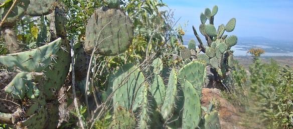 burrotaponacactus